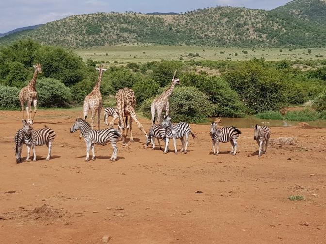 Zebras and Giraffes at a Waterhole.