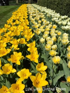 Stunning shades of yellow tulips in Keukenhof.