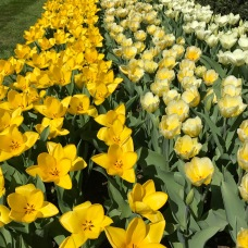 Stunning shades of yellow tulips in Keukenhof.