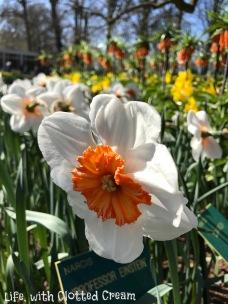 Einstein daffodils at Keukenhof, Holland