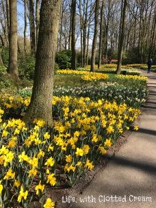 Mesmerising yellow daffodils near the entrance at Keukenhof, Holland.