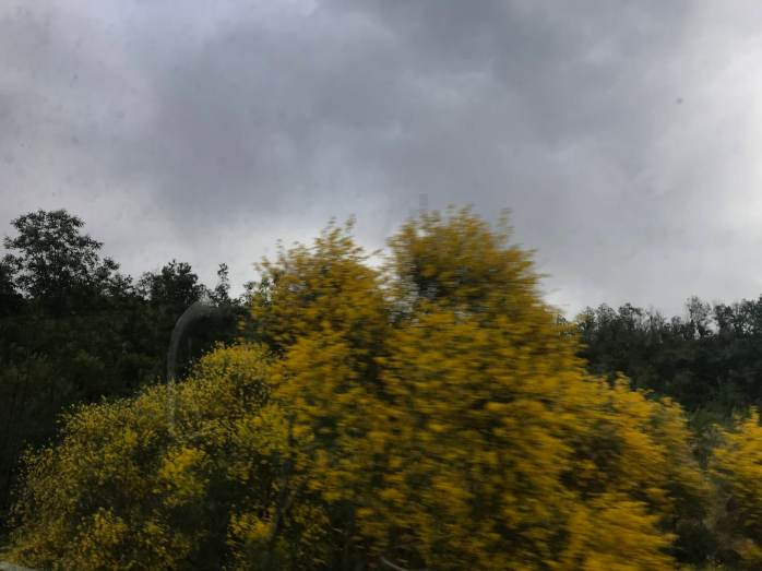 Blurry photo of a yellow broom tree at Mount Etna