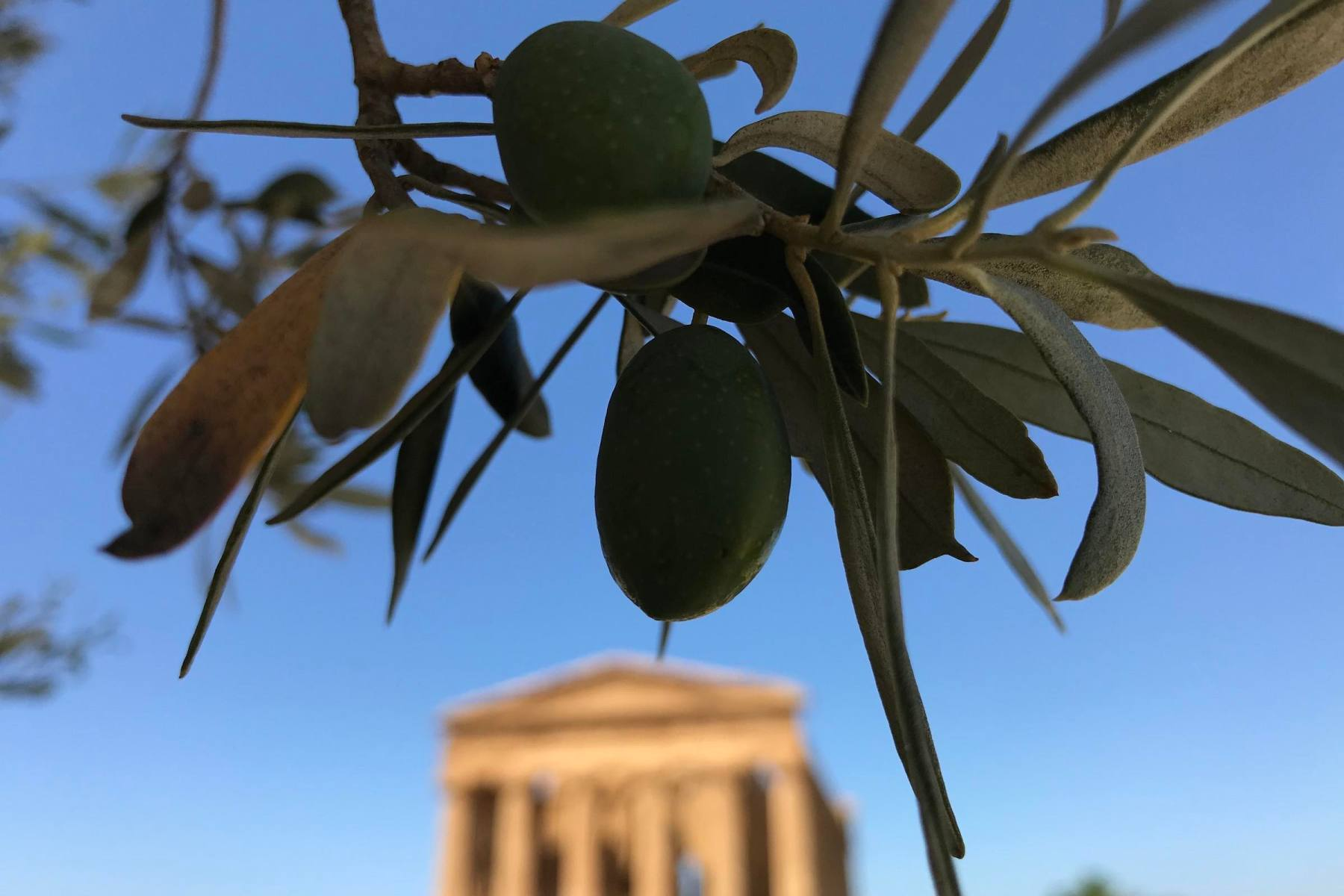 Olives with Temple of Concordia