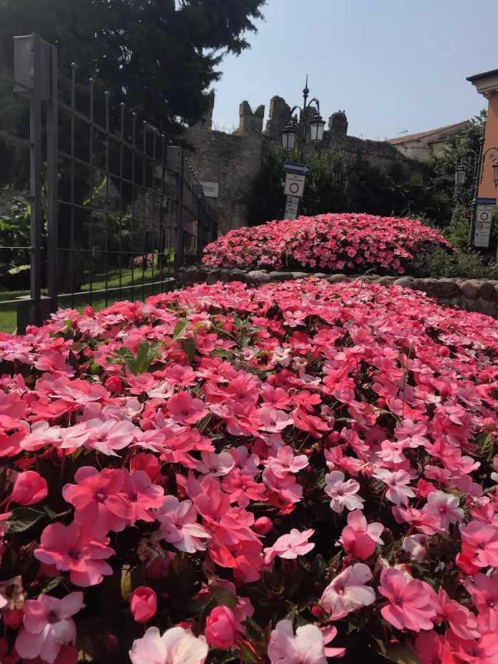 Flowers in Lazise